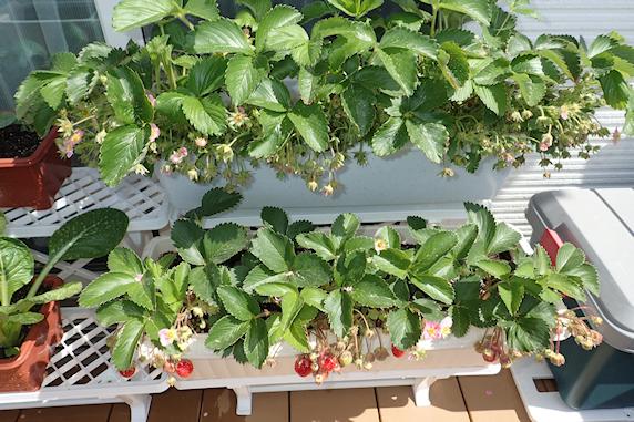 小松菜と四季なりイチゴの収穫&ベランダ菜園実況 その2
