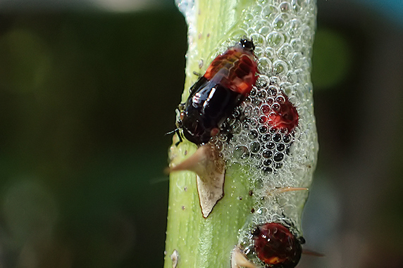シロオビアワフキの幼虫