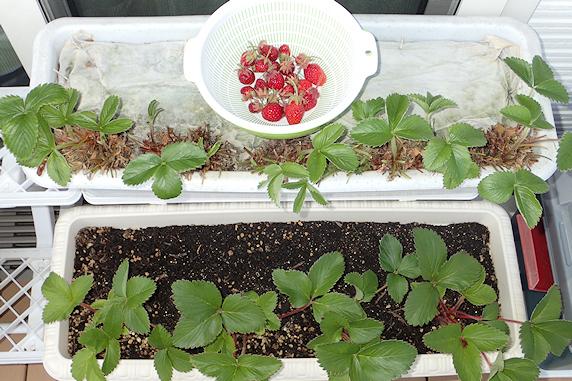 キュウリと四季なりイチゴの収穫
