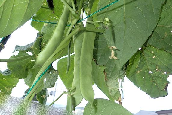 モロッコインゲン初収穫
