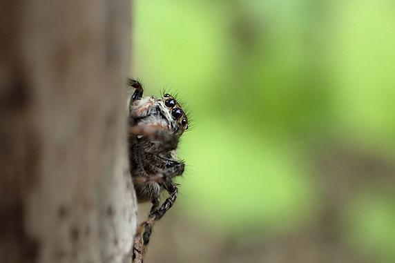 棲みつくネコハエトリ