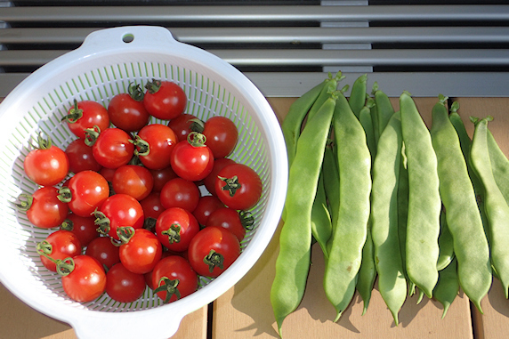 ミニトマトなどの収穫