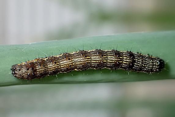 恥ずかしがるオオタバコガの幼虫