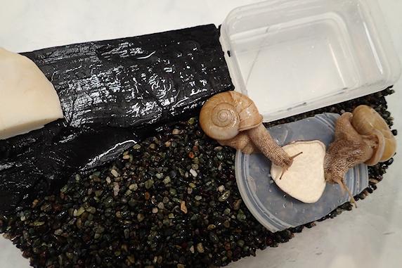 カタツムリに乾燥イモをあげた次第