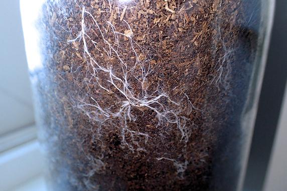 カブ幼虫マットに菌糸発生