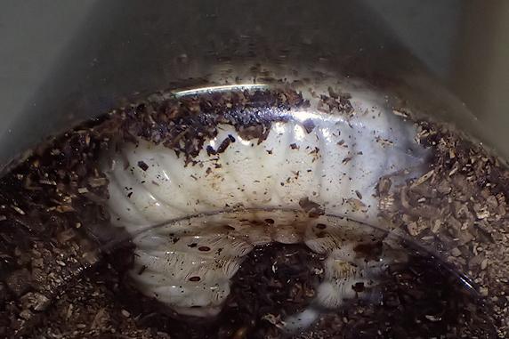 適温維持のカブ幼虫
