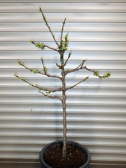花芽と葉芽が開いたサクランボ