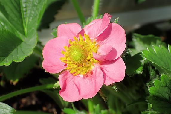四季なりイチゴ開花