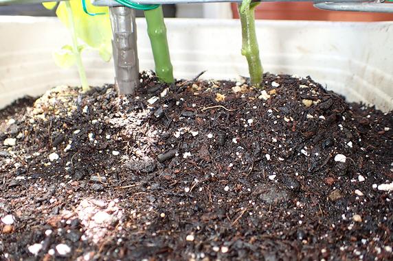 トマト&ミニトマト定植