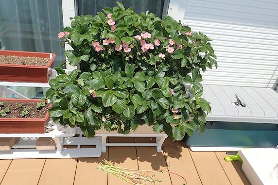 イチゴの花とミナミヒメヒラタアブ