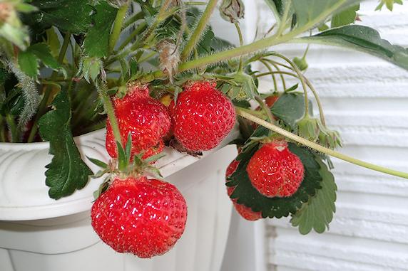 四季成りイチゴの収穫と幼虫