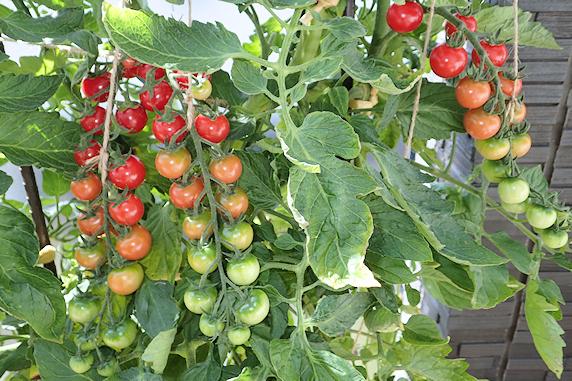 ナスとミニトマトの収穫