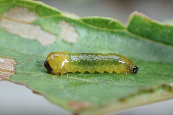 サクランボにオウトウナメクジハバチの幼虫襲来!