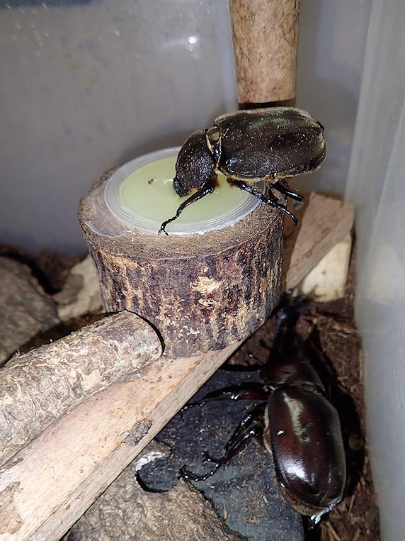 荒ぶるカブトムシ