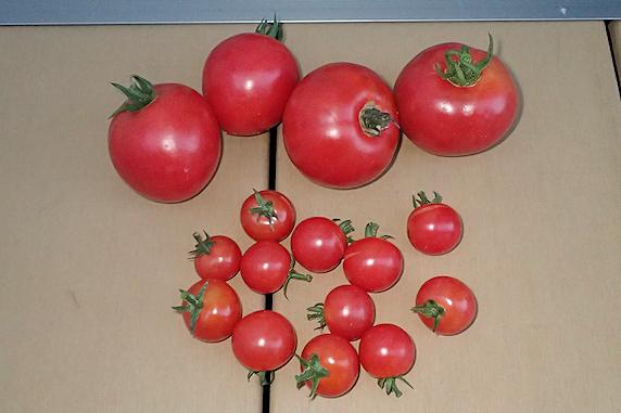 ミニトマトとトマトの収穫