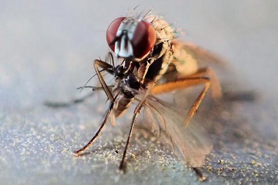 ハエがヒメバチを捕食?