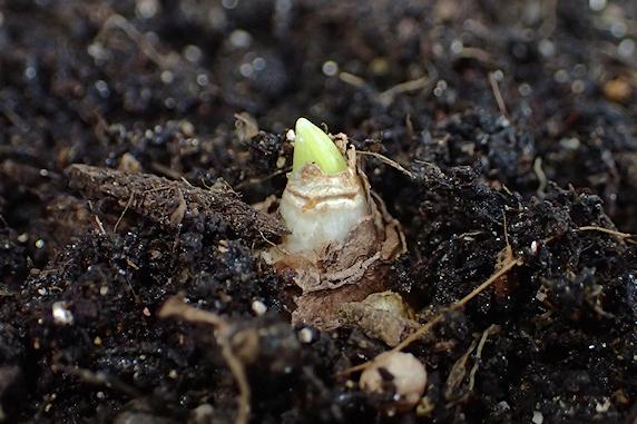 ムスカリの球根を定植