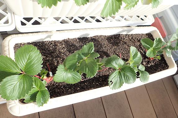四季成りイチゴの孫株を定植