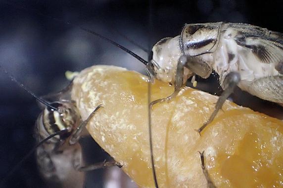 みかんを食べるヨーロッパイエコオロギ