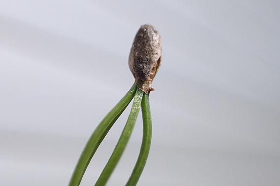 実生富有柿の矮性曲げ曲げ実験進行中