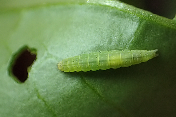 小松菜にコナガ幼虫襲来