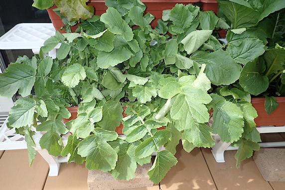 小松菜&はつか大根&葉大根の収穫