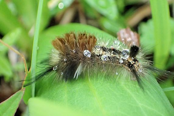 マメドクガの幼虫現る