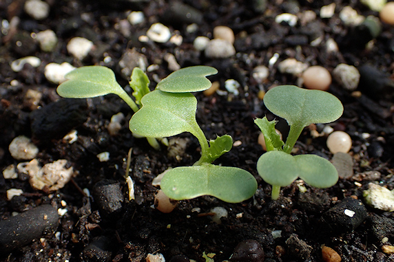 小カブ発芽