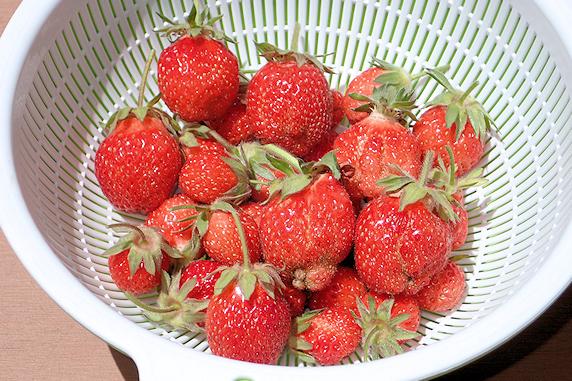 四季なりイチゴの収穫