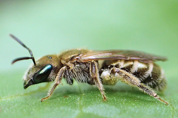 金色光沢のアカガネコハナバチ