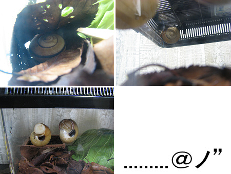 カタツムリの冬眠にも個性が出る