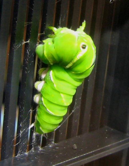 アゲハ幼虫のサナギ準備のもよう(動画あり)