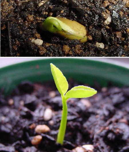 甘夏の発芽