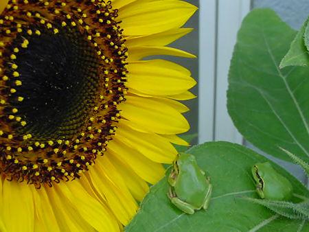 写真館-花見をするカエル