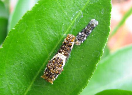 アゲハ幼虫の脱皮