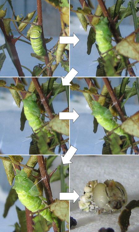 アゲハ幼虫4匹目がサナギに