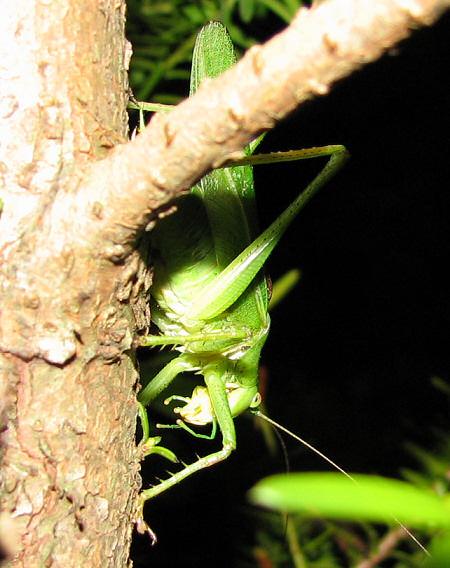 写真館-夜の樹上にヤブキリ