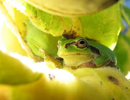 写真館-陽射しを避けるカエル