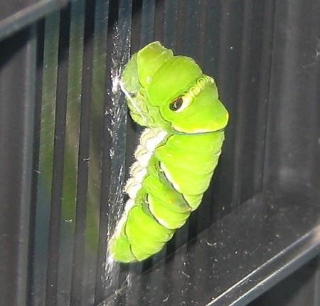 最後のアゲハ幼虫が前蛹に
