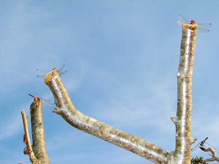 写真館-アキアカネが4尾、枝の先