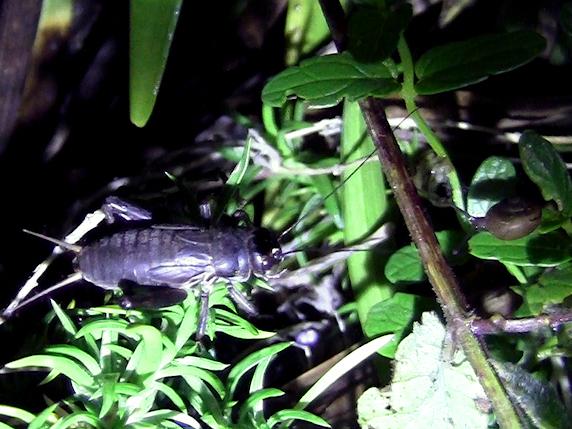 夜の庭の虫たちの鳴き声と動画