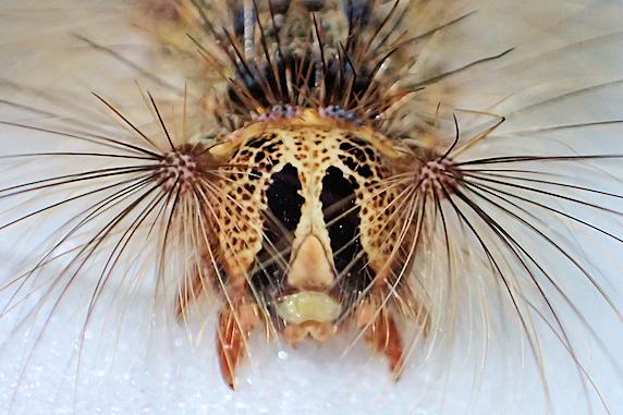 マイマイガの終齢幼虫