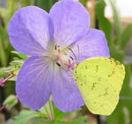 写真館-フウロ草の蜜を吸うキチョウ