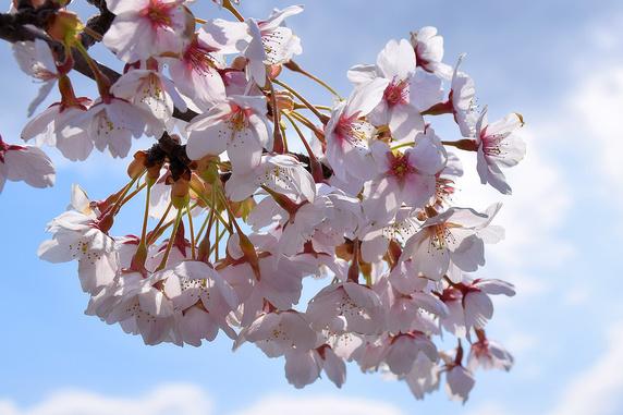 桜、散りはじめ