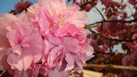 仙台市青葉城址の八重桜のような花