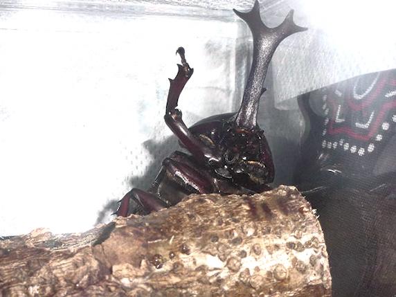 10年前のカブトムシ