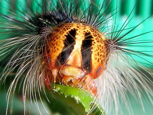 マイマイガのでかい5齢幼虫