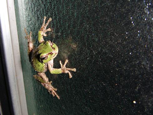 表と裏のカエル