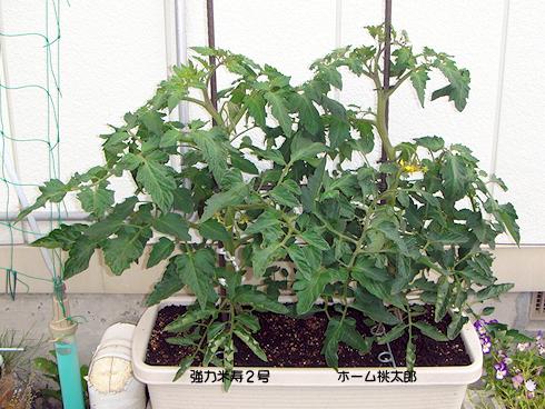順調な生長のトマト