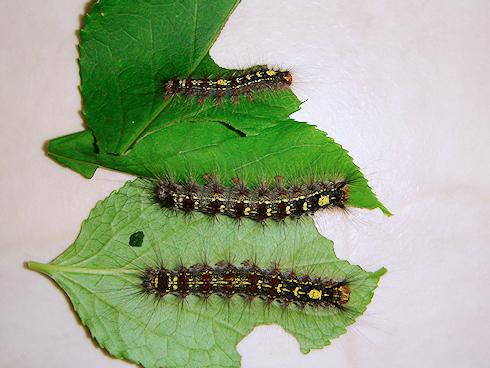 成熟するマイマイガの5齢幼虫